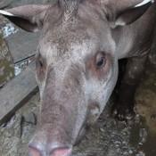 Antonio, Der Tapir