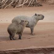 Wasserschweine Am Flußufer