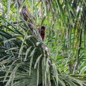 Roter Brüllaffe
