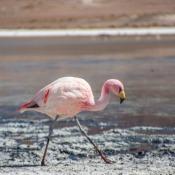 Flamingo In Der Laguna Hedionda